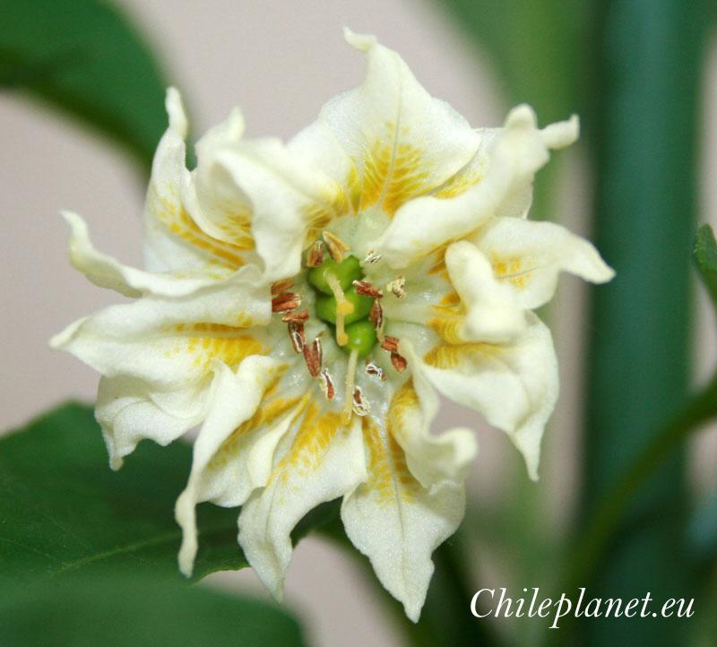 Anatomie Chili und seine Blume