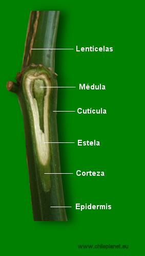 Anatomía de chile