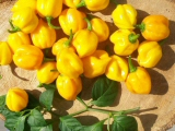 Scotch Bonnet Burkina yellow